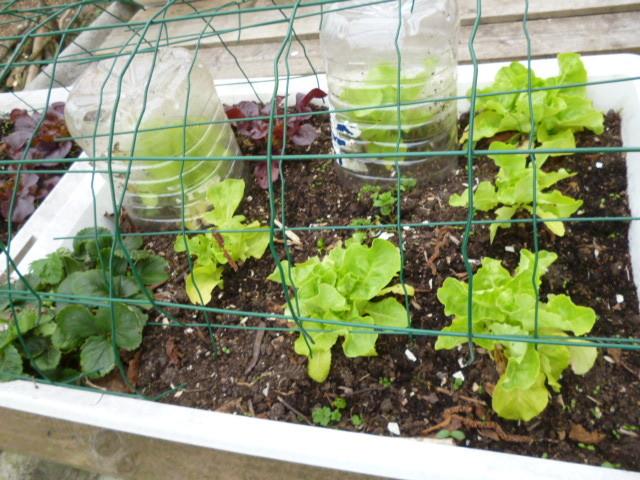 salades feuilles de chêne rouges et vertes