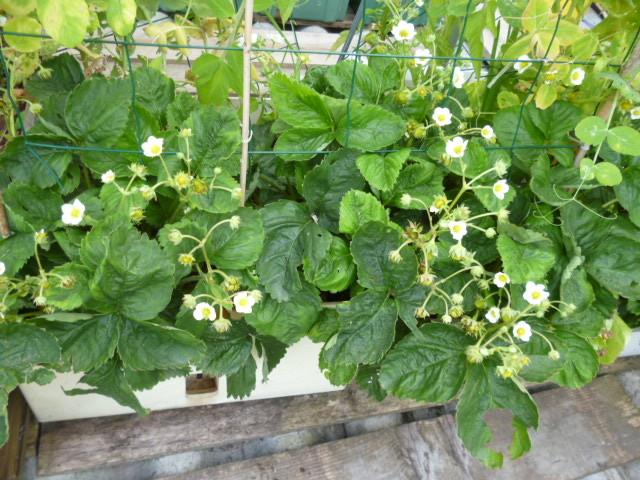 les fraises arrivent