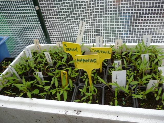 semis de tomates anciennes