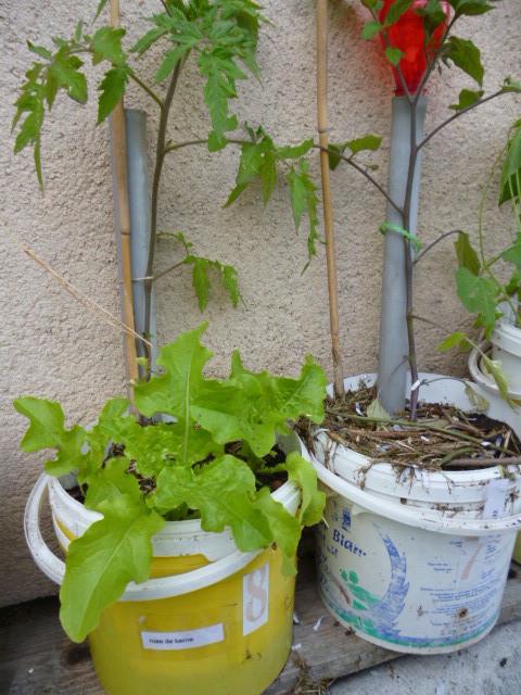 salades & plant de tomates