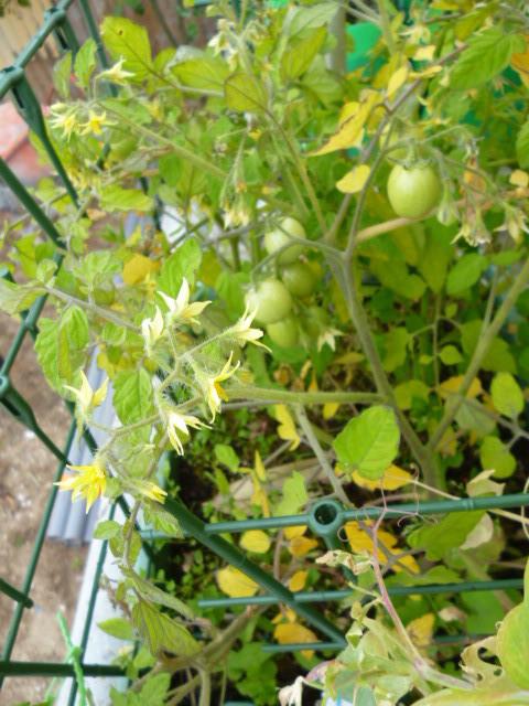 tomates garden pearl