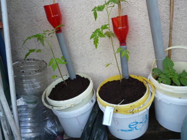 plants de tomates