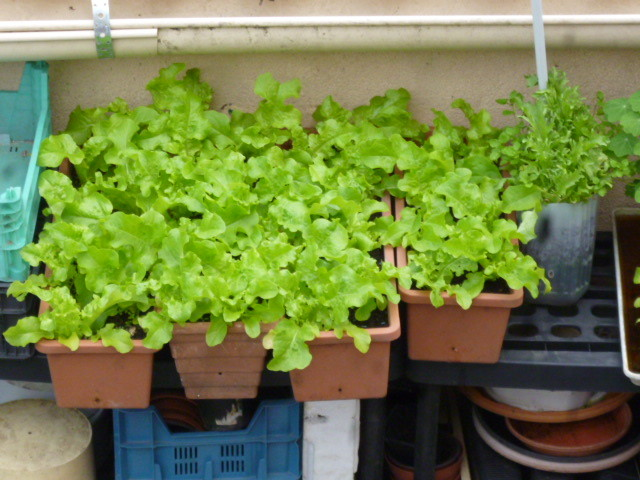 salades en jardinières