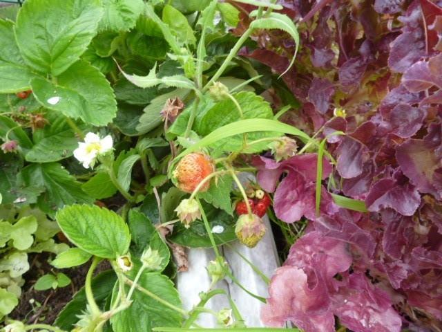 bientôt les fraises