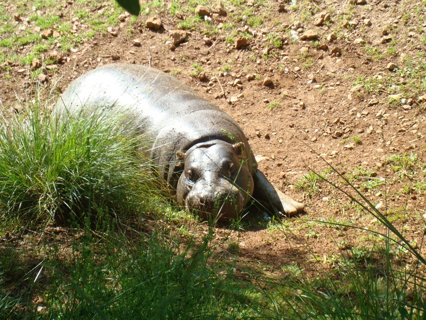 Hipopotamo enano