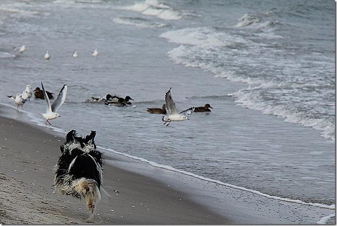Möwen vom Strand fernhalten! Willmas Berufung!