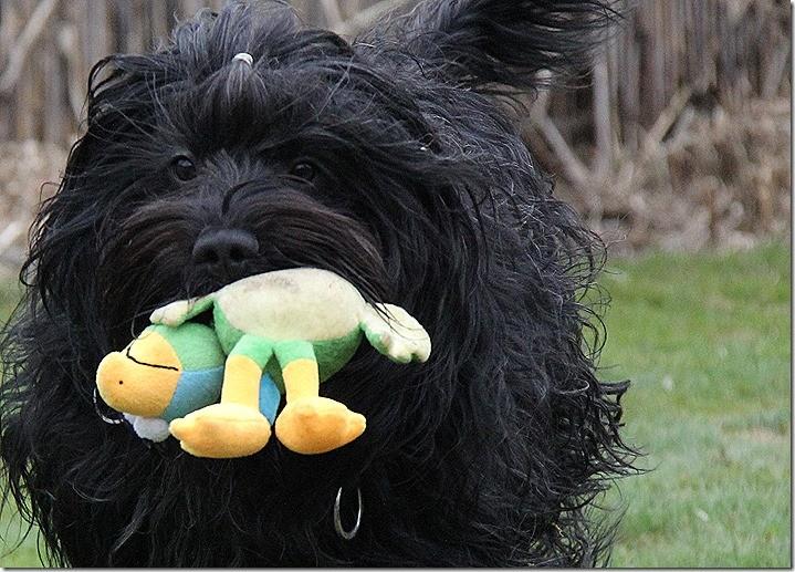 """Wenn sich zwei um ein Spielzeug """"streiten"""".... freut sich der Dritte!! (Bram)  ;-)"""