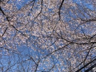 【新27期】足立区北千住柳原通りの桜並木