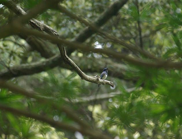 オオルリ│五月の初め夏鳥のオオルリが入り始めました。