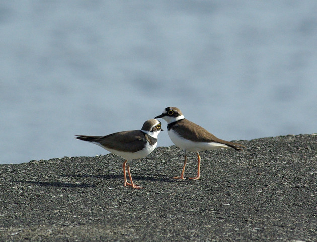 コチドリ│南からの移動の途中、少しの間立ち寄って羽休め。