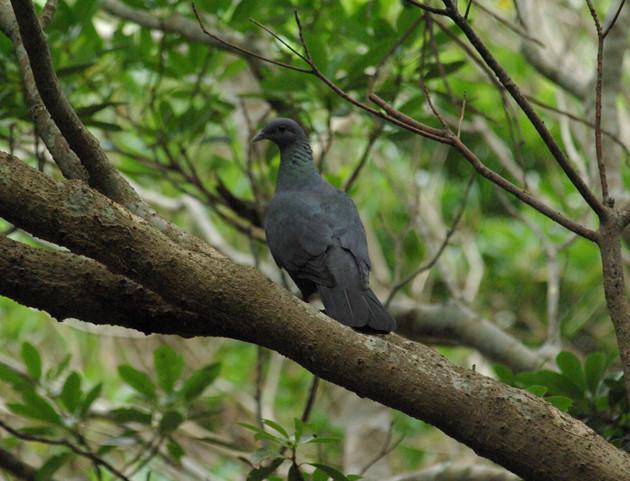 カラスバト│島嶼部の実に生息する大型の鳩