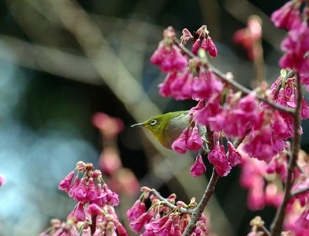 メジロと桜│3月、メジロが花の蜜を求め飛び交います。