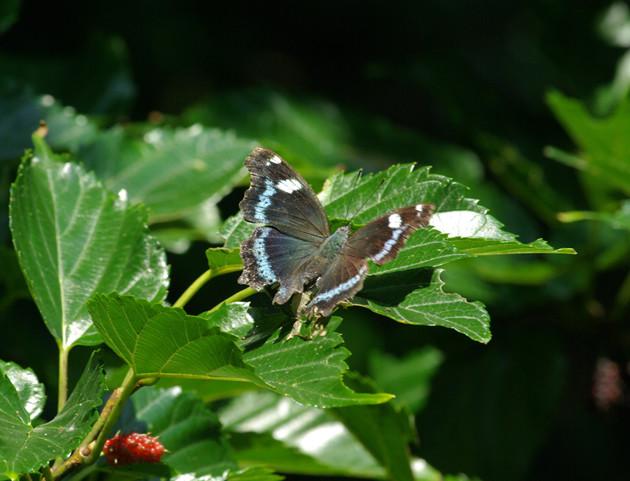 ルリタテハ│羽の裏の瑠璃色がよく目立ちます。