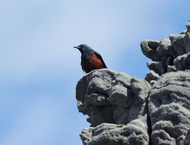 イソヒヨドリ│神津島の「島鳥」 一年中見られます。数も多いです。