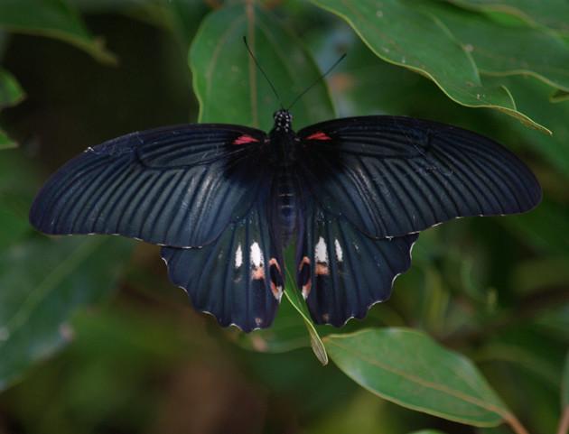 ナガサキアゲハ│南方系のアゲハですが、近年は数が増えているようです。