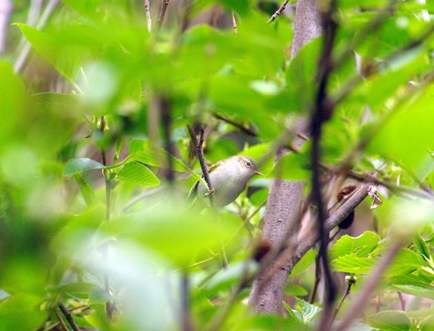 イイジマムシクイ│四月の初め頃南からやってきて、伊豆諸島で繁殖します。