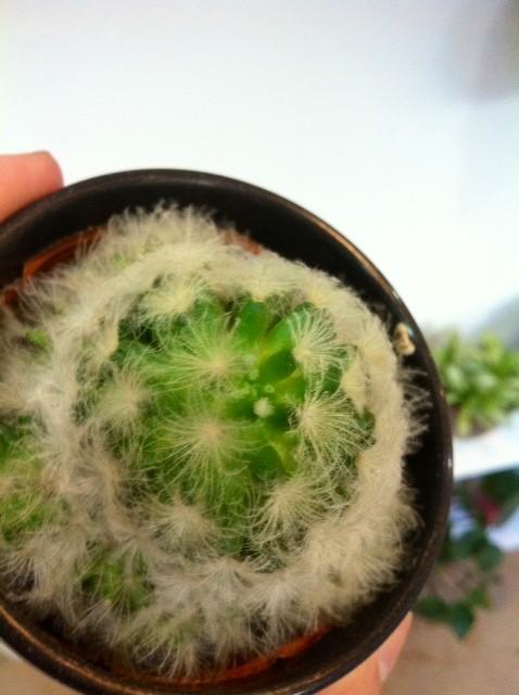 コレはわかり辛いけど真中の白い点の所から芽が出かけてるんです!