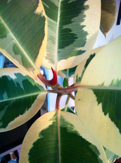 先週買ったゴムの木ちゃんがやってきた! でか‼ 天井に付きそうなんでカットするか曲げるか思案ちう、。