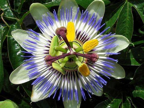 トケイソウって植物の花です、、花が時計のようだからこの名前が付いたみたいです。 激しく好みなんですけど!w おまけに直ぐ手に入り簡単に育てられるらしくて◎♪ ツル性の植物なんですけどね、丁度植物を這わせたいと思ってた場所があたんで、コイツに決定!