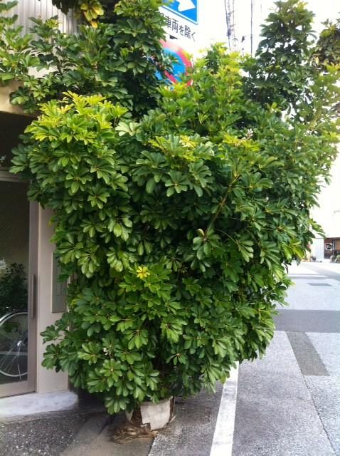 """店の近くにある観葉植物。 僕らが店を出した頃は、背丈ほどの普通の観葉植物だったのに、、今では鉢が割れ土も無い状態なのにここまで成長するなんて、、、コイツ見るといつも""""力""""を貰えてる気がする。 投稿すれば「ナニコレ珍百景」に出そうじゃないですか?  *写真じゃ伝わらないけど、実際はもっと迫力があります。"""