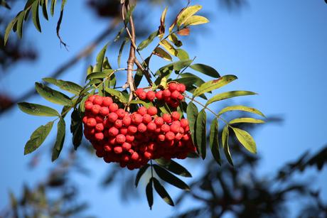 Vogelbeere - Sorbus aucuparia (© LBV-Bilddatenbank)
