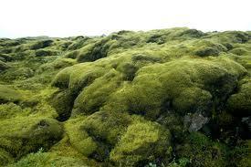 Lavaveld begroeid met Ijslandse mos