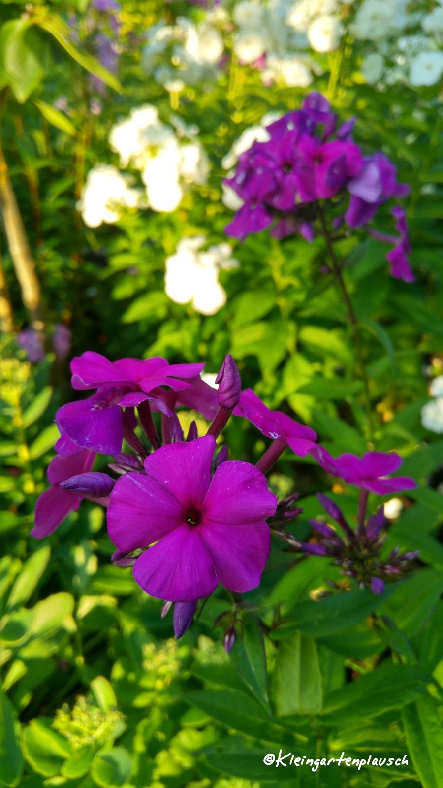 """""""Düsterlohe"""" - eine alte Karl Foerster- Sorte, due als besonders schön und robust gilt. Hier im Garten muss er sich noch richtig etablieren, lautet mein Gefühl, aber seine Farbe ist wirklich besonders intensiv!"""