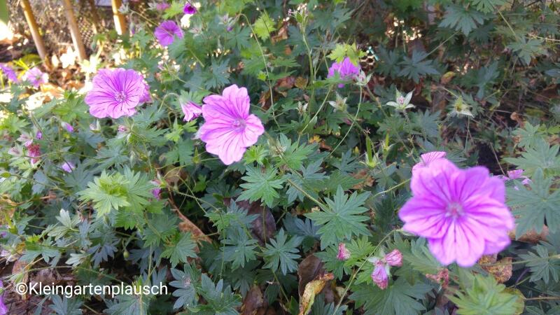 """...und Lieblingsgärtners und mein Bodendeckerfavorit """"Blushing Turtle""""..."""