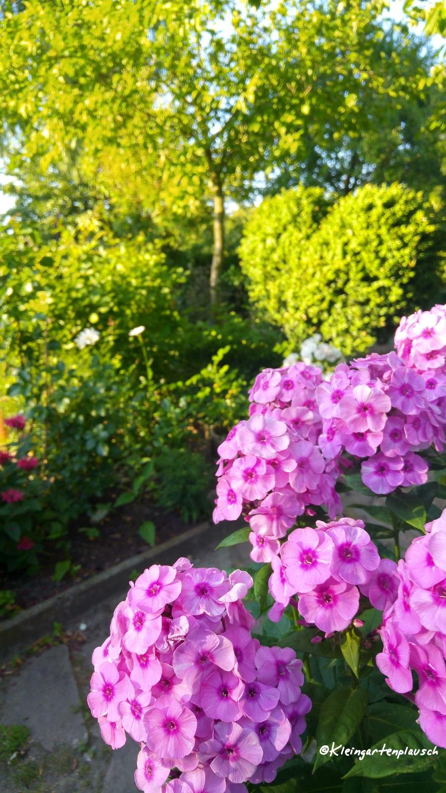 """Den Anfang macht """"Fondant Fancy"""", der seit nunmehr fast 3 Jahren gemeinsam mit Familie Tulpe unseren großen Topf am Garteneingang bewohnt. Das Topfleben scheint ihm sehr gut zu gefallen. Es ist eine einzige Blütenwoge."""