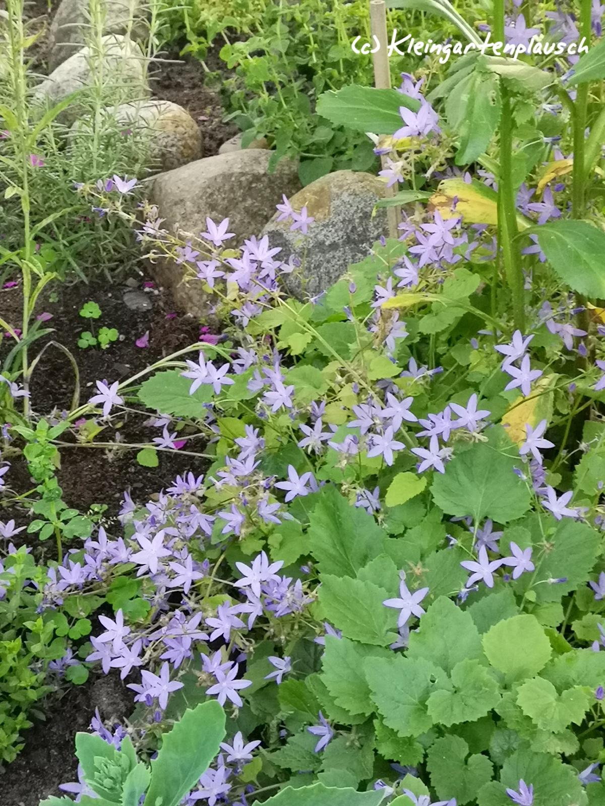 """Nun mal wieder ein bisschen Licht anknipsen und die niedrige Staudenglockenblume beäugen😁! Sie war komplett von Gamander und Braunelle überrollt. Ich habe sie rausgekommen, """"gesäubert""""  und neu gepflanzt. Sie dankt es mit einem kleinen Sternenteppich!"""
