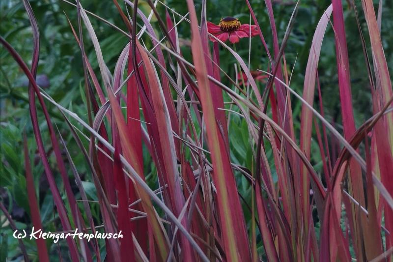 """... und für japanisches Blutgras, Imperata cylindrica """"Red Baron"""" , erst recht! Leider habe ich seine Bedürfnisse noch nicht voll verstanden: An machen Stellen im kleinen Garten wächst es rückwärts, und an anderen erobert es die Fläche."""