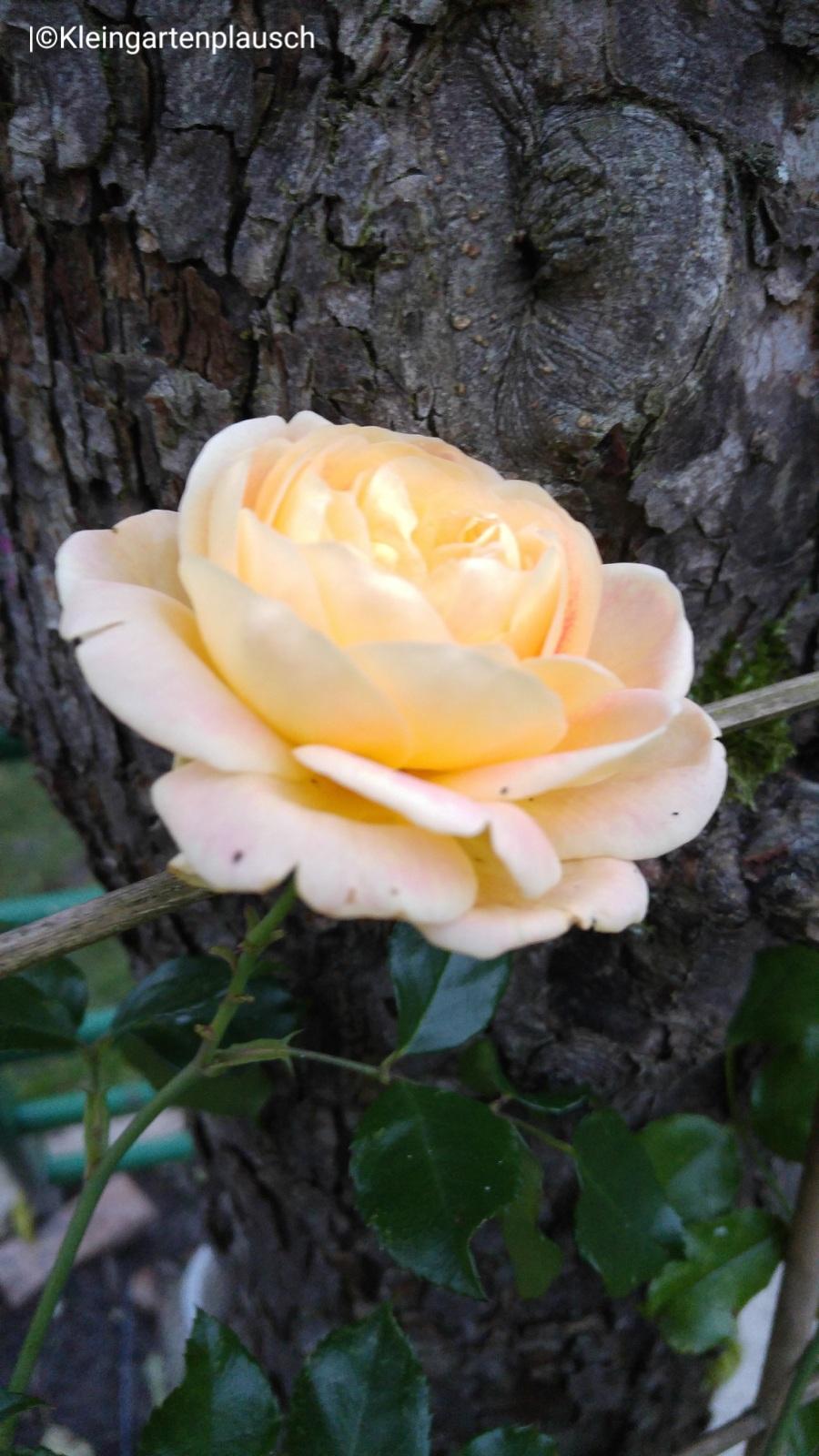 Und auch die Rose von einem unserer Gartenfreunde blüht unverdrossen!