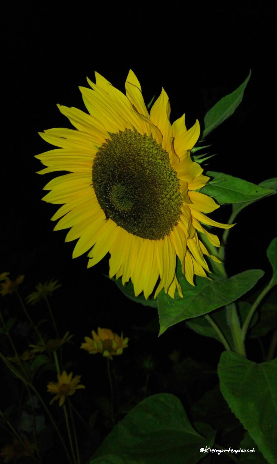Die Sonnenblumen kommen - wie einige andere Pflanzen - von unserem Gemüsehändler auf dem Wochenmarkt.