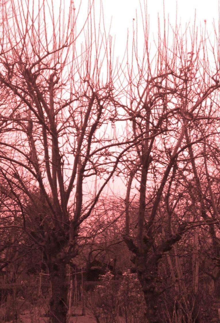 Abgebildet sind zwei Apfelbäume, die sehr verschnitten sind: Die viel zu vielen Äste der Krone sind alle ähnlich dick, laufen steil nach oben