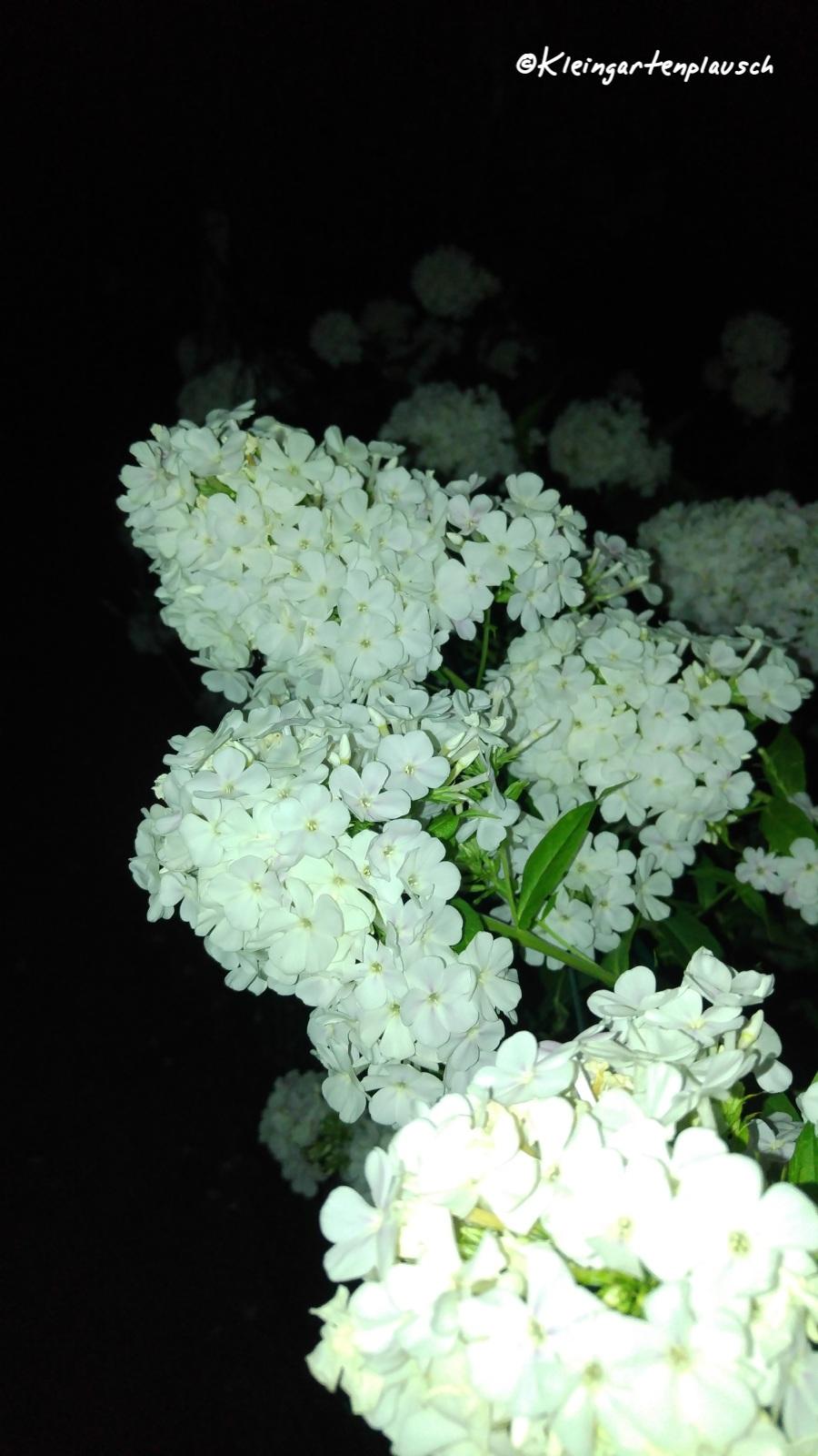 Dieser großartige Phlox guckte dann noch auf dem Heimweg aus einem Nachbargarten über den Zaun. Klar, dass ich auch diesen ablichtete...