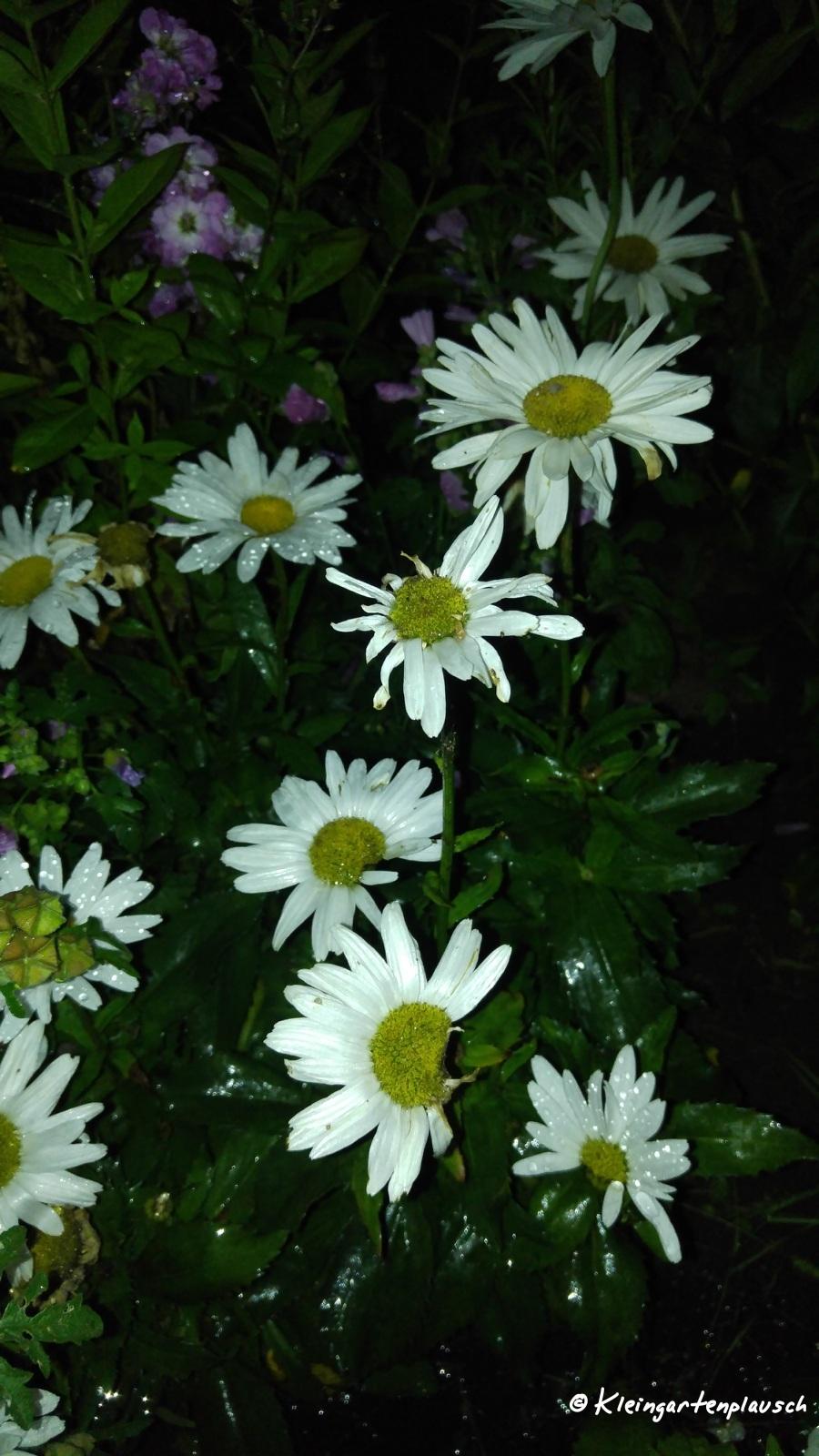 In unserem eigenen Garten ist die Margeritenblüte vorbei, hier strahlen sue noch.
