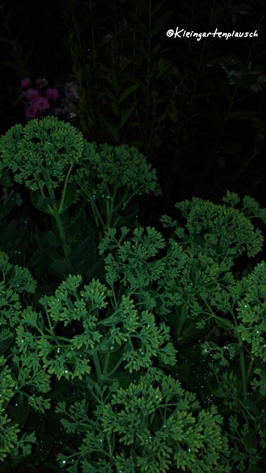 Sedum konnten wir selbst reichlich spenden, und in Jahren wie diesen zeigt sich, was das für eine wundervolle Allroundpflanze ist.