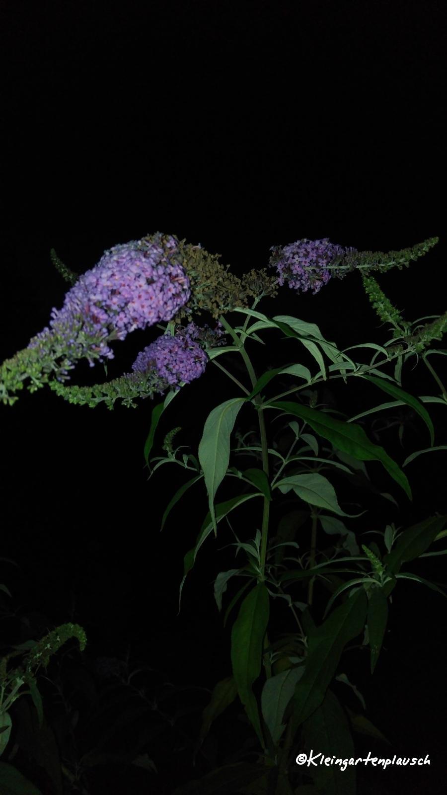 Die alte Buddleja - quasi Wahrzeichen des Schmetterlingsgartens - finde ich auch noch blind. Leider konnte ich keinen ablichten, aber sie war umschwirrt von zahllosen Nachtfaltern...