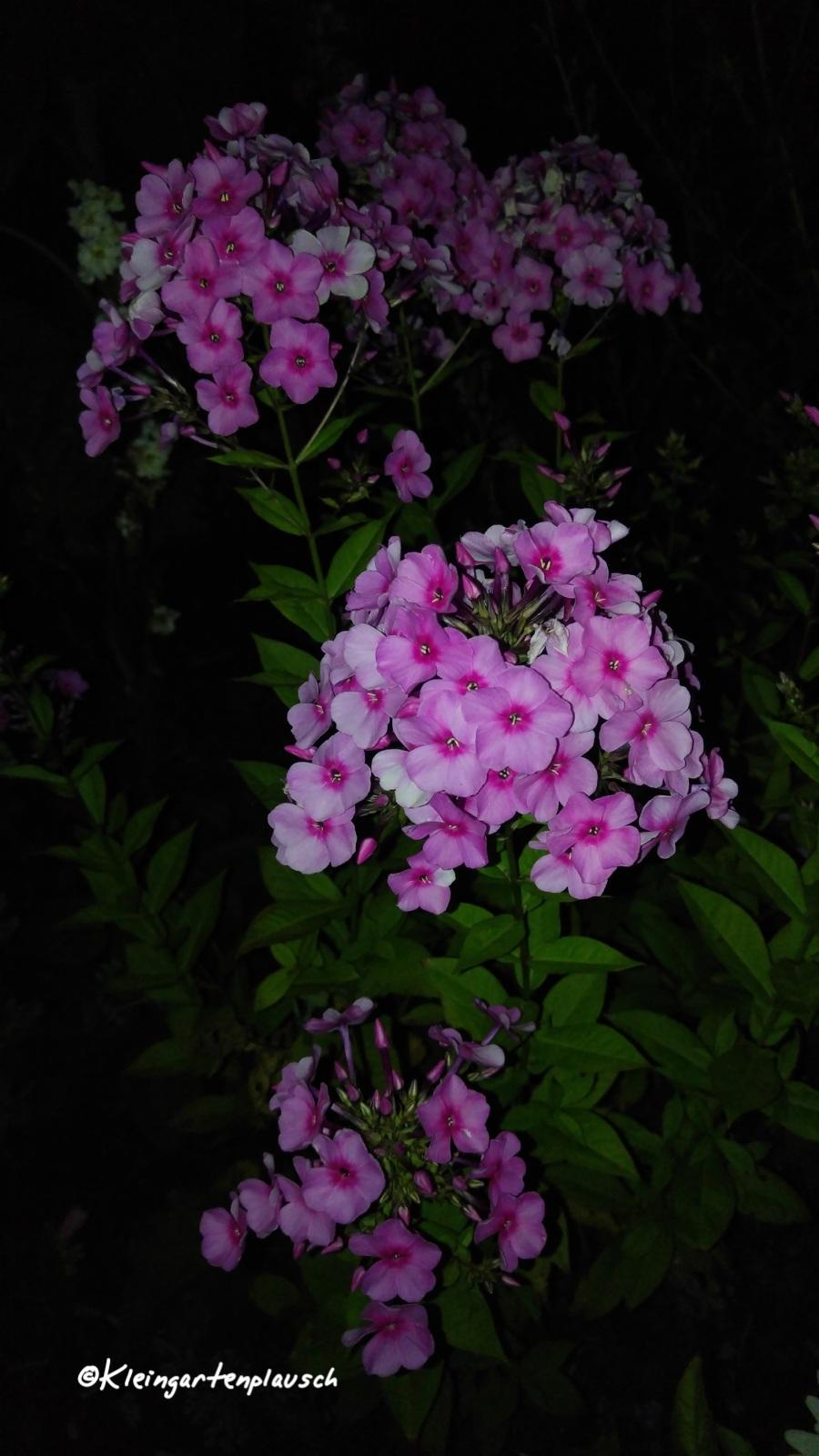 ... wurden von diversen Gartenfreunden von innerhalb oder außerhalb unseres Vereins gespendet. Dieser Phlox stammt aus einer Gärtnerei zwei Dörfer weiter...