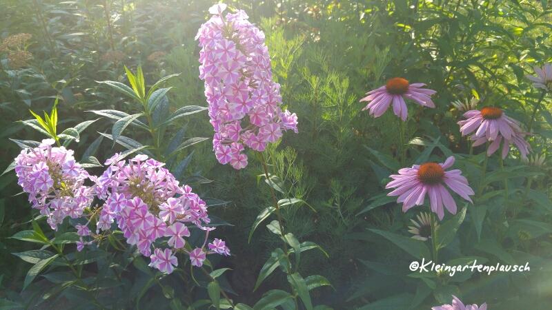 """Hier seht Ihr Wiesenphlox """"Natascha"""". Mich erinnert sie immer an irgendeine zuckrige Süßigkeit vom Jahrmarkt😉: Jedenfalls ist die Gute definitiv eine Pflanze, die """"Leben in die Bude"""" bzw. den Garten bringt!"""