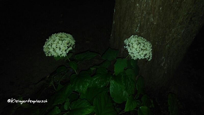 Hortensie Annabelle wollten wir in unserem Garten nicht mehr haben und buddelten sie aus. Ergebnis: Im Schmetterlingsgarten strahlt sie wieder u n d bei uns tauchte sie an alter Stelle verjüngt und vergnügt wieder auf😉...