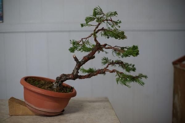 Juniperus CHinensis (credo sia chinensis)