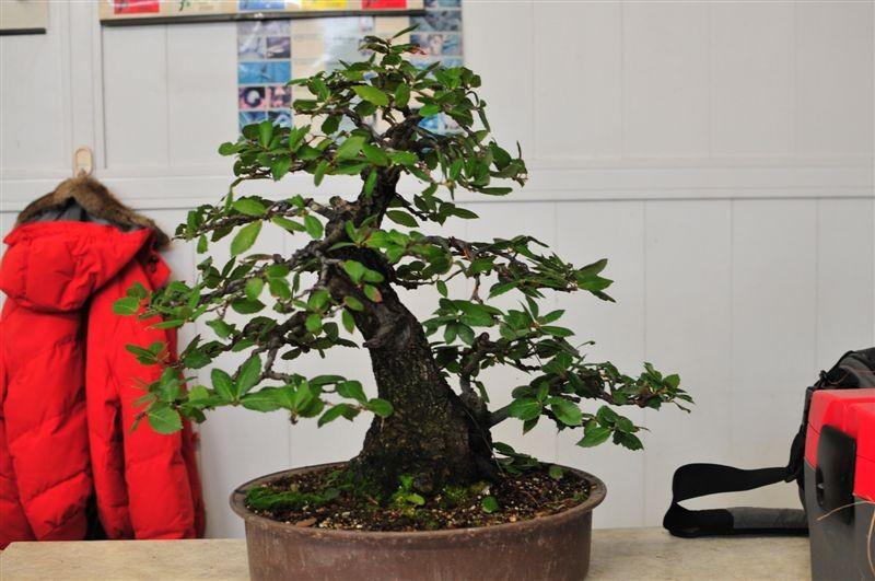 """""""L'albericità"""", la conicità, il carattere .... fanno di questa pianta una delle mie preferite ..."""