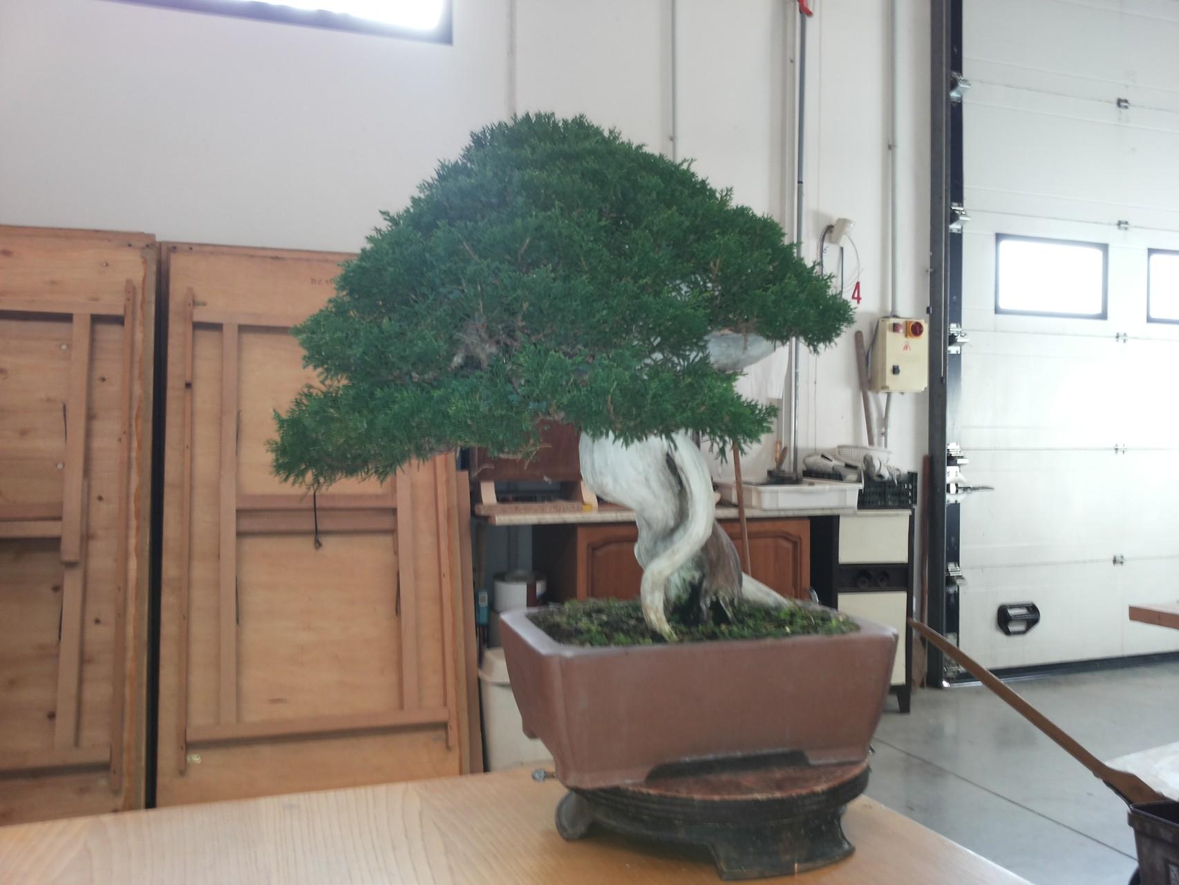 Ammirate il verde di questo juniperus chinensis..
