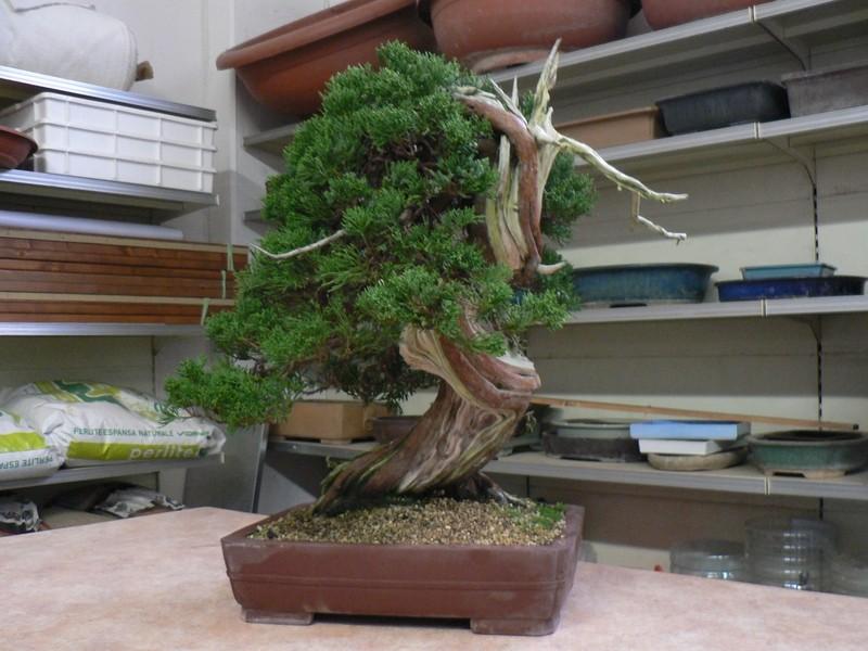 Guardate questo splendido Juniperus!!!!!!!!!!