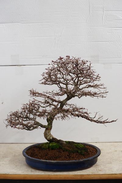 Questa pianta aveva due tronchi, è stata margottata ed aggiunto un ramo.