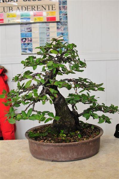 Guardate che bel movimento il tronco di questo Yamadori!