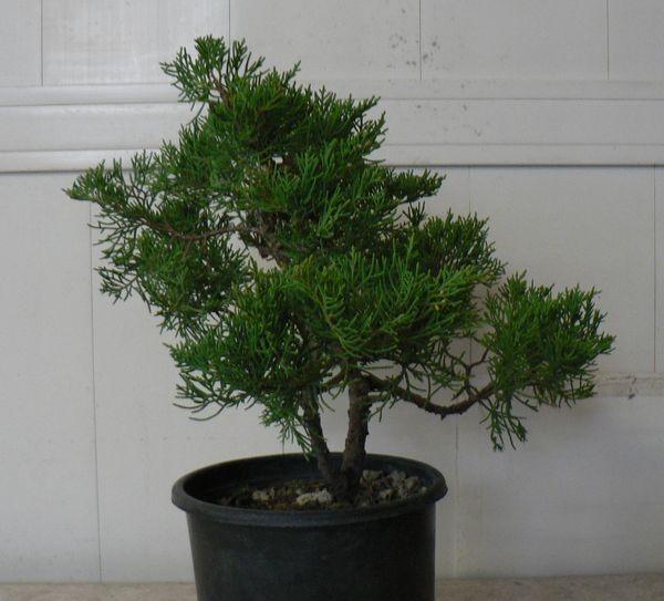 Una delle piante lavorate da uno dei soci novizi...