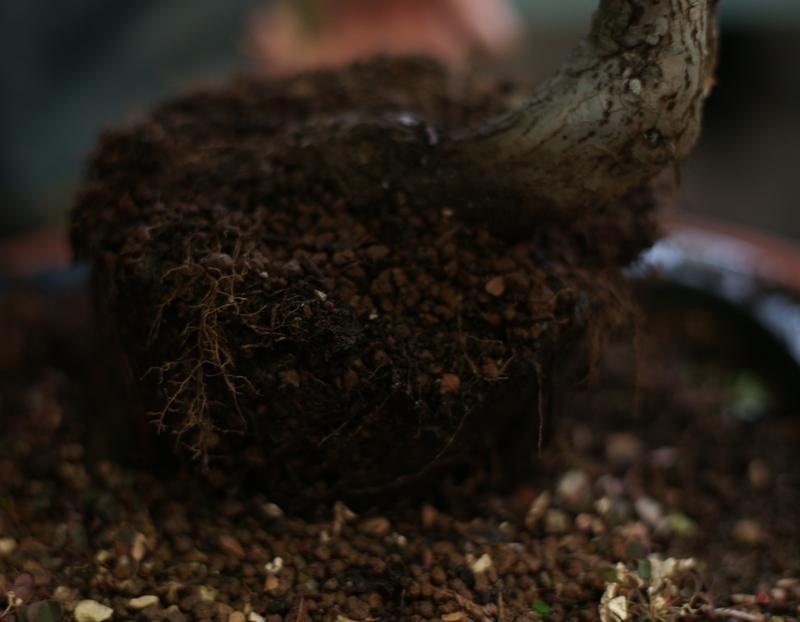 La Zelkova è una pianta generosa e ci ha donato tante radici