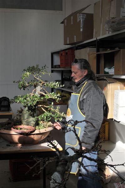 Ecco un bel bonsai di Olivastro...